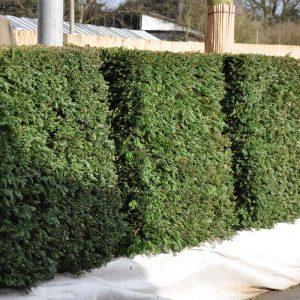 Зелений паркан з Туї Смарагд 140-160см (1мп)