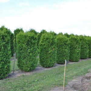 Живий зелений паркан з Туї Смарагд 160-180см (1мп)