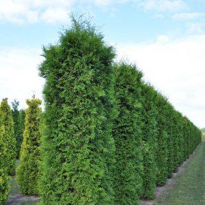 Живий зелений паркан з Туї Смарагд 180-200см (1мп)