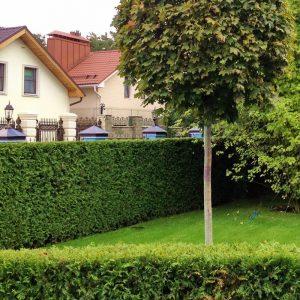 Зелений паркан з Туї Смарагд 100-120см (1мп)