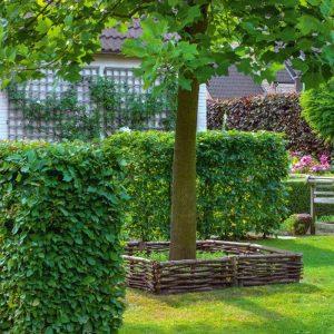 Зелена огорожа – паркан з Граба Екстра 125-150см (1мп)