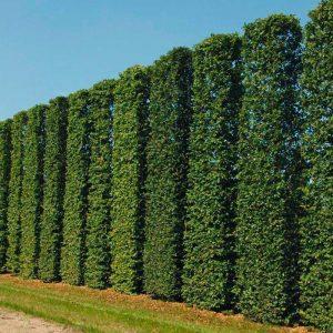 Живий зелений паркан з Граба Екстра 175-200см (1мп)