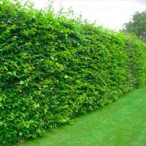 Зелена огорожа з Граба 150-200см (1мп)